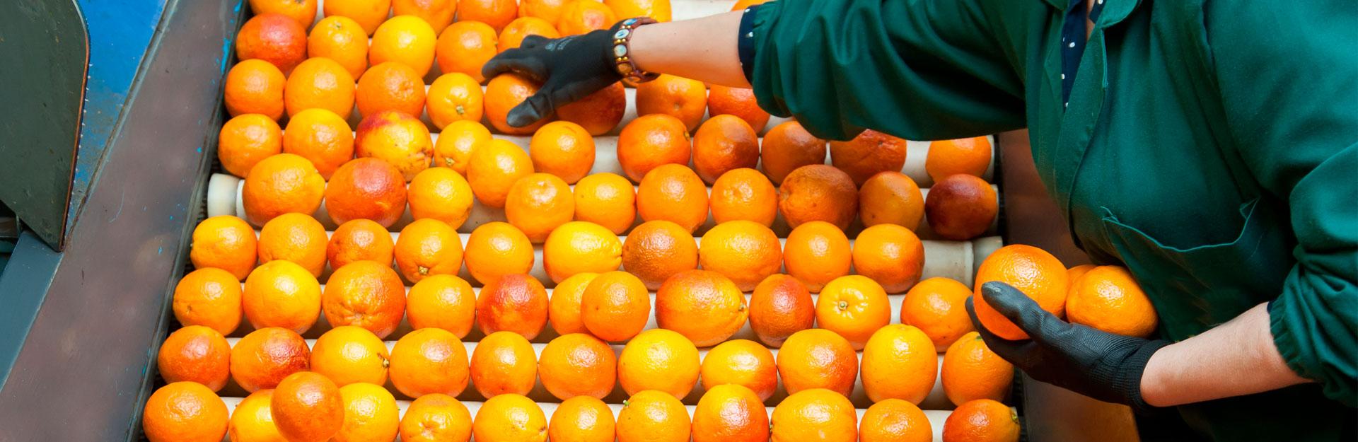 Una empleada del servicio de manipulados selecciona unas naranjas.